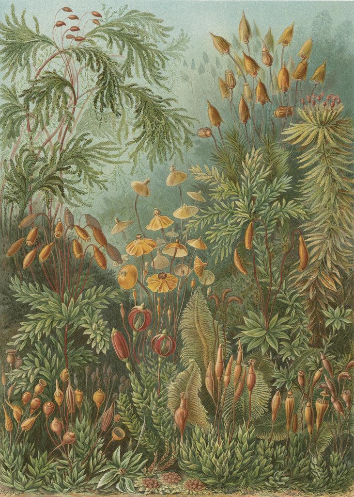Detail of 'Muscinae' [mosses] by Adolf Giltsch