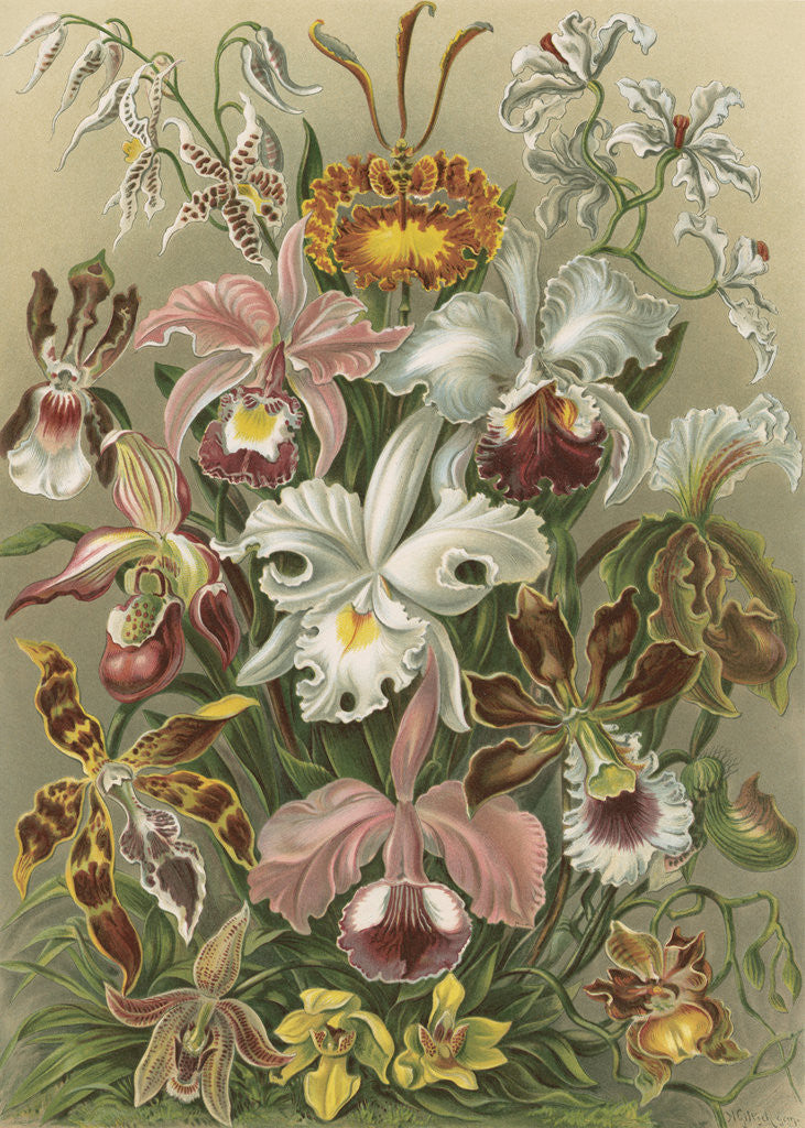 Detail of 'Orchideae' [orchids] by Adolf Giltsch