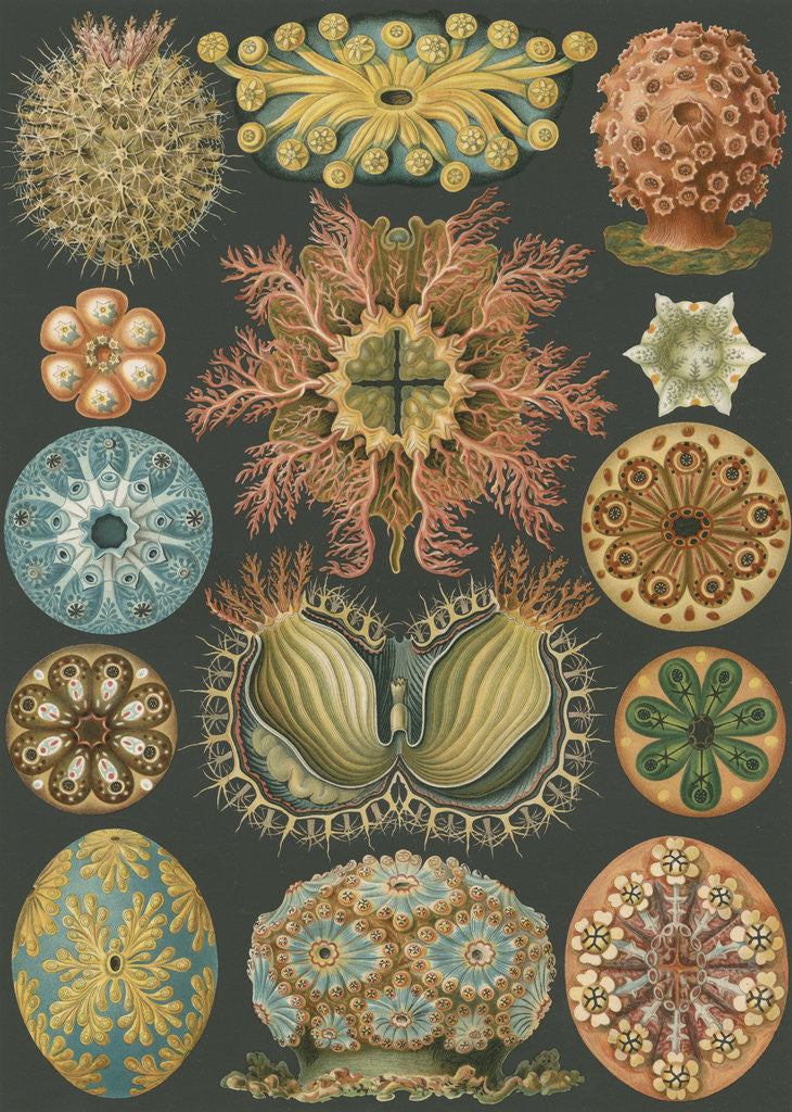 Detail of 'Ascidiae' [sea squirts] by Adolf Giltsch