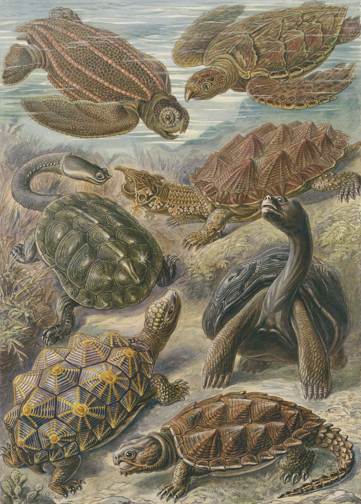 Detail of 'Chelonia' [turtles, tortoises and terrapins] by Adolf Giltsch