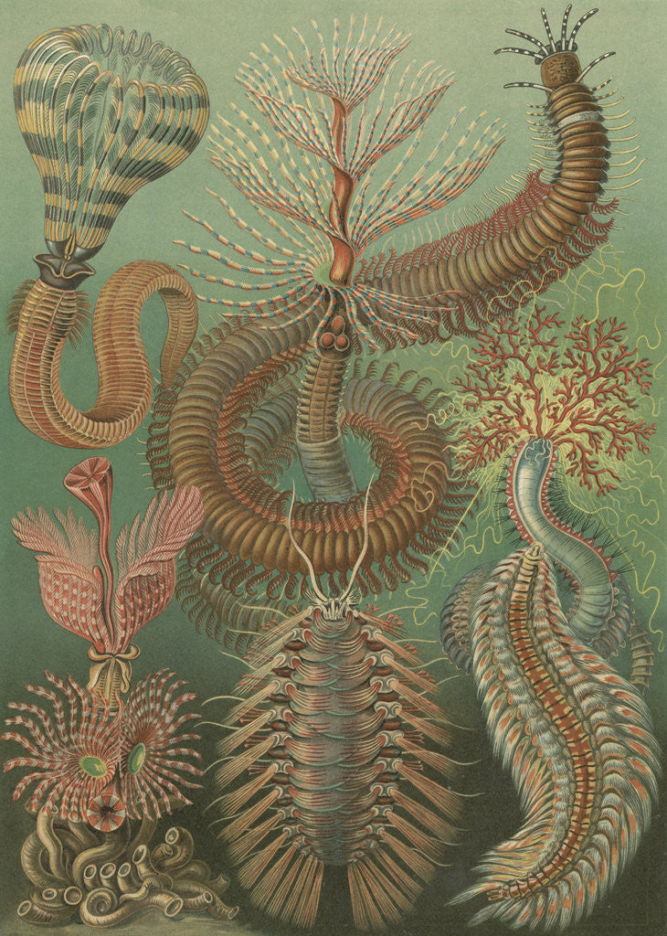 Detail of 'Chaetopoda' [marine worms] by Adolf Giltsch