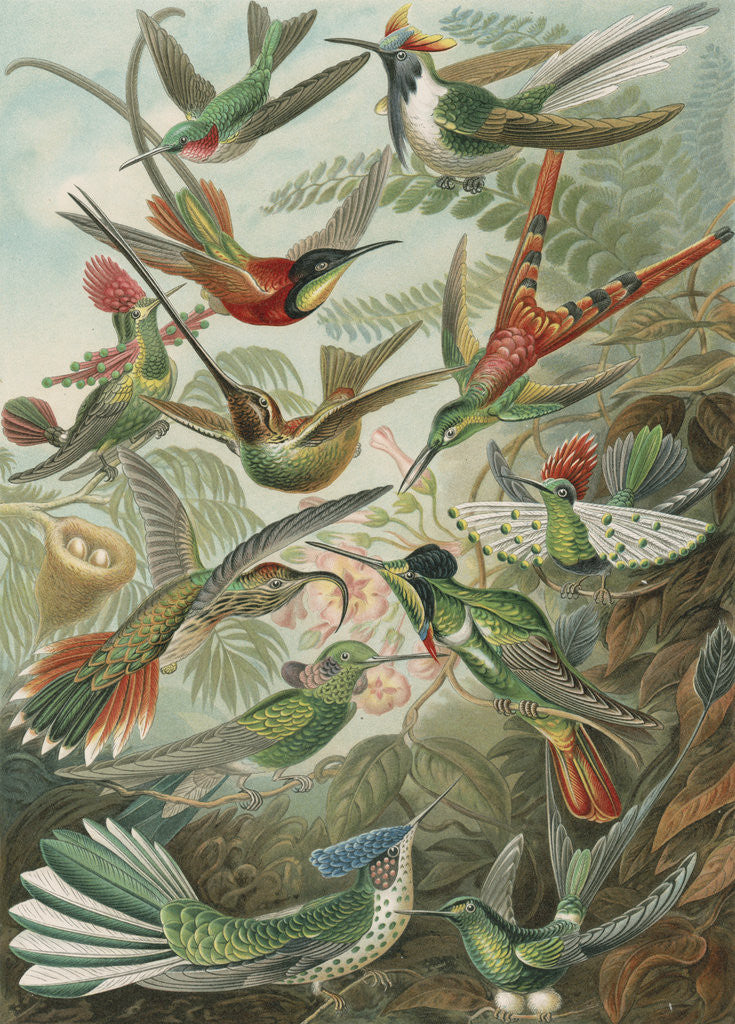 Detail of 'Trochilidae' [humming birds] by Adolf Giltsch
