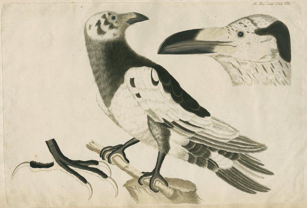 Detail of 'Le Corbeau Blanc de Ferroe' [Pied or White Raven] by Anonymous