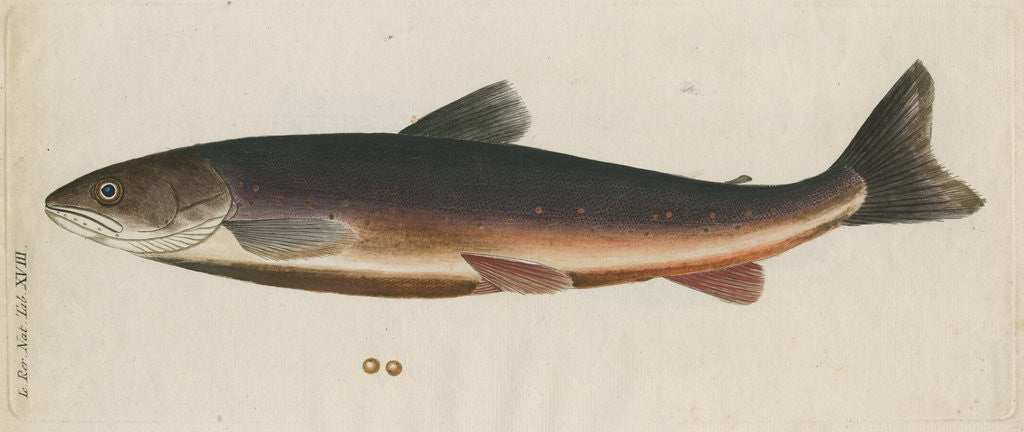 Detail of 'L'Omble, La Roie, ou Salmomet des Alpes' [Arctic char] by Anonymous