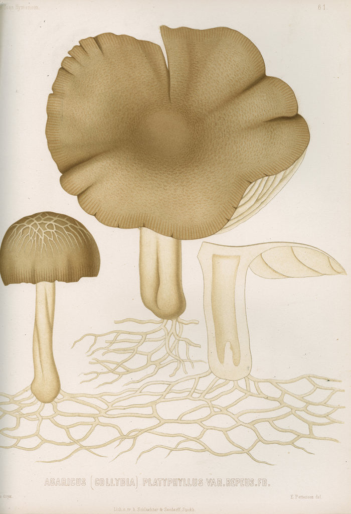 Detail of 'Agaricus (Collybia) Platyphyllus' [mushrooms] by Abraham Lundquist & Company
