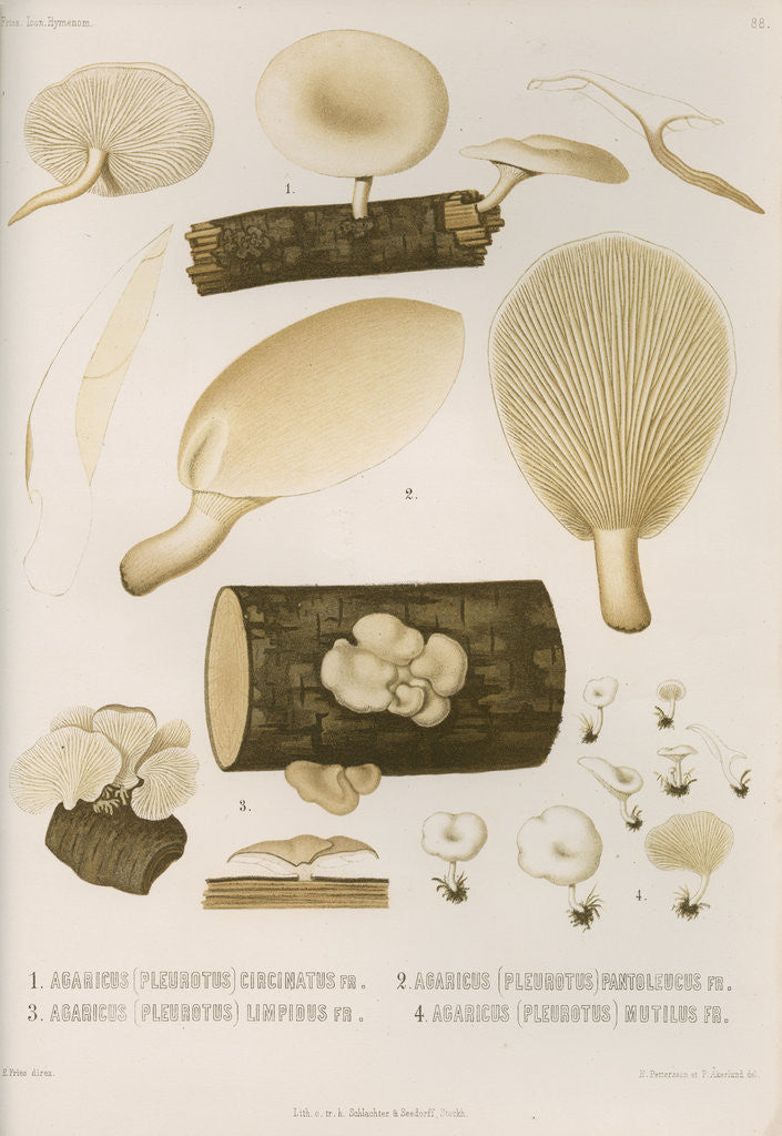 Specimens of Pleurotus [Oyster mushrooms] by Abraham Lundquist & Company