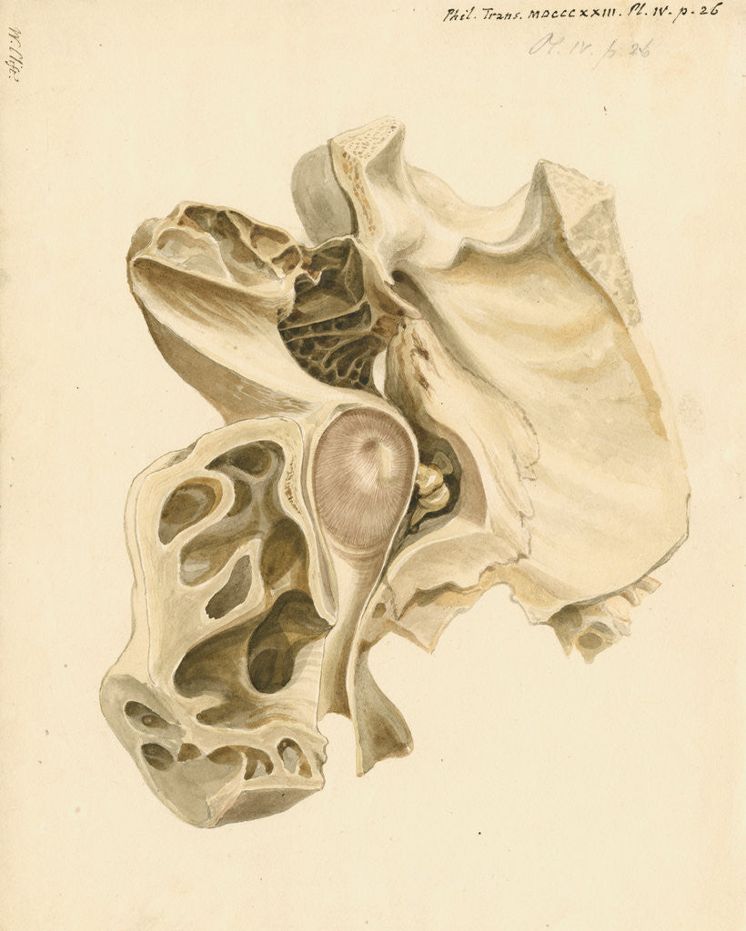 Detail of Indian elephant eardrum and mastoid cells by William Clift