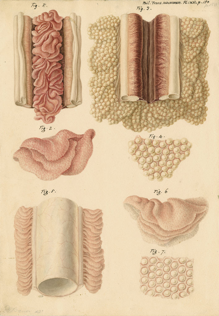 Detail of Ovaries and testes of the lamprey and conger eel by Franz Andreas Bauer
