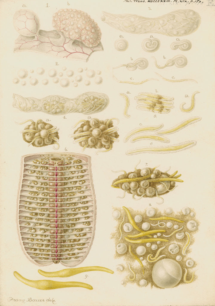 Detail of Earthworm eggs and their development by Franz Andreas Bauer