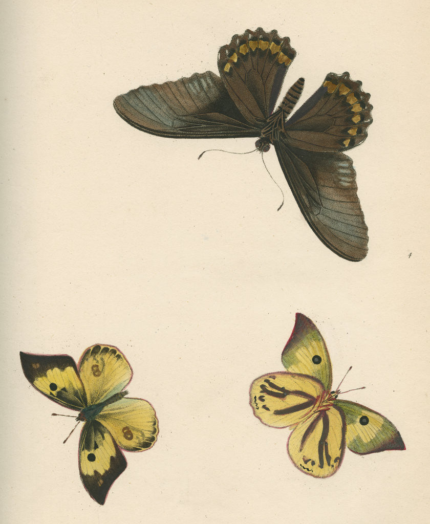 Detail of Butterflies of North and South America by Maria Eleonora Hochecker