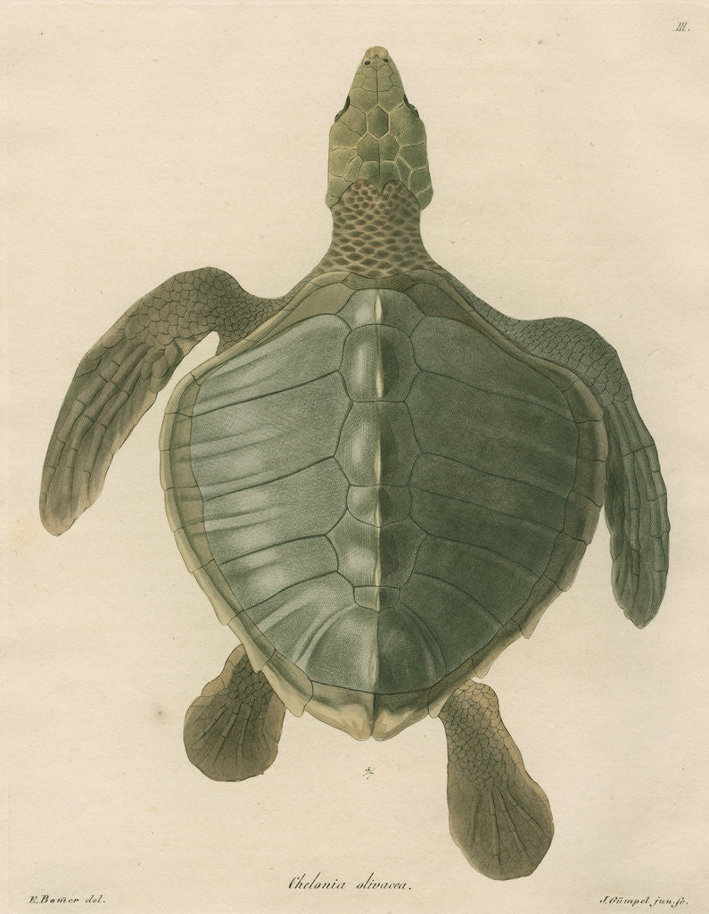 Detail of 'Chelonia olivacea' [Olive Ridley sea turtle] by J Gumpel junior