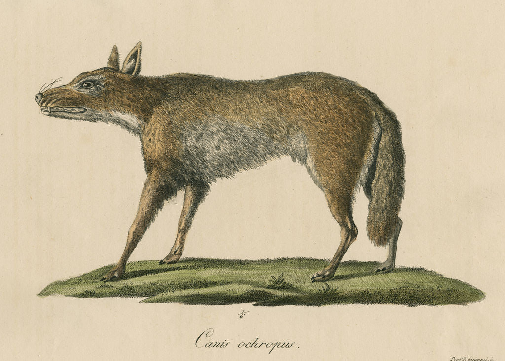 Detail of 'Canis ochropus' [California valley coyote] by Friedrich Guimpel