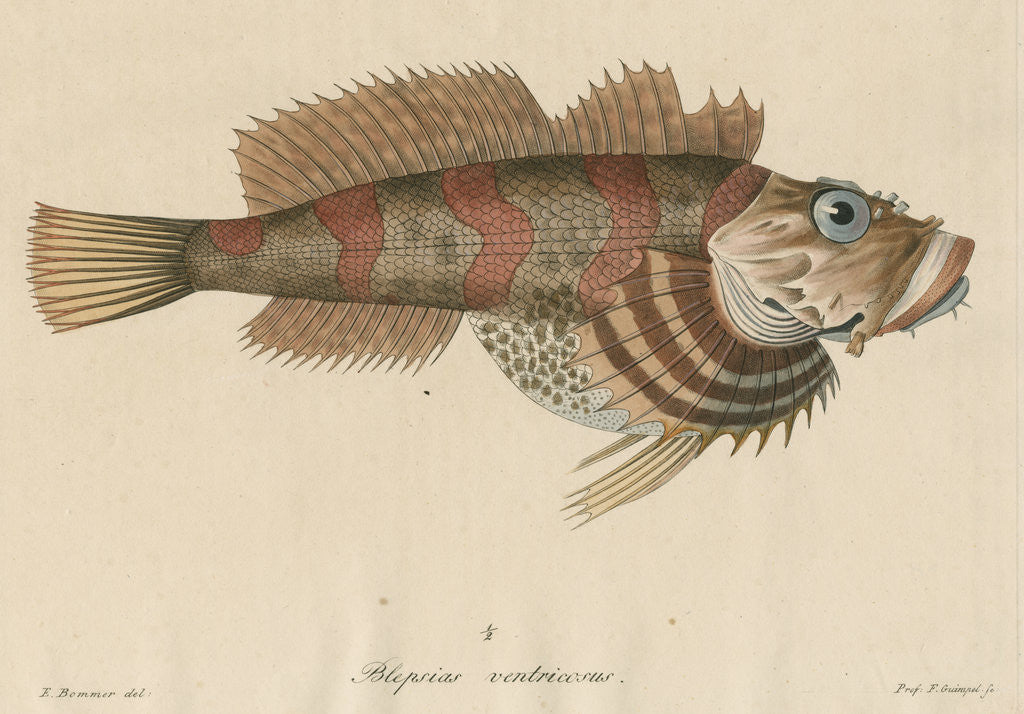 Detail of Blepsias ventricosus [Red Irish Lord fish] by Friedrich Guimpel