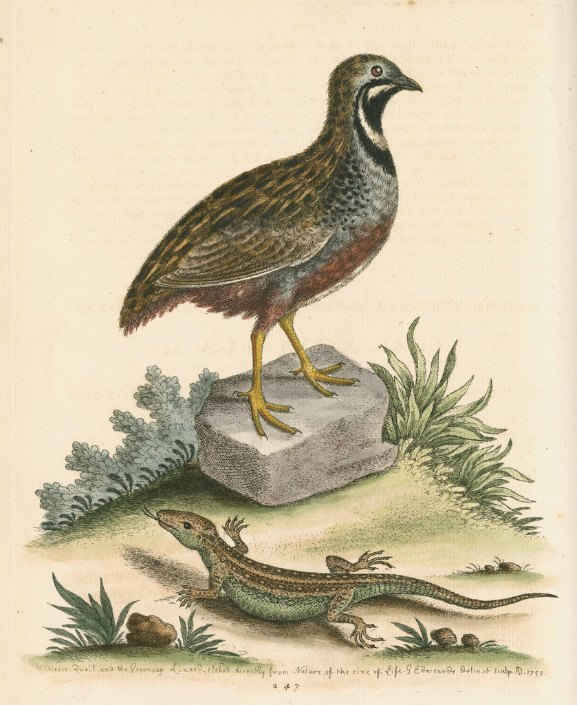 Detail of 'The Chinese Quail and the Guernsey Lizard' by George Edwards