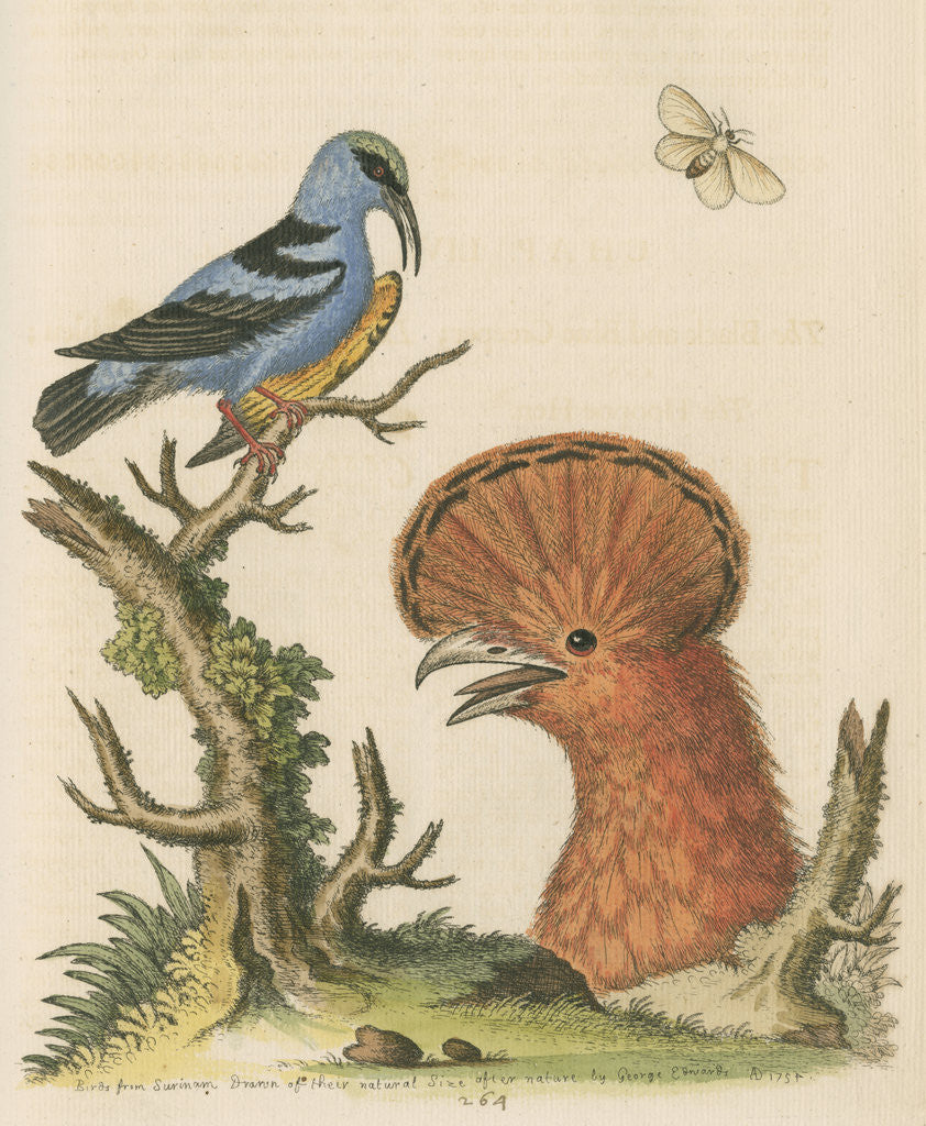 Detail of 'The Black and Blue Creeper; and the Hoopoe Hen' by George Edwards