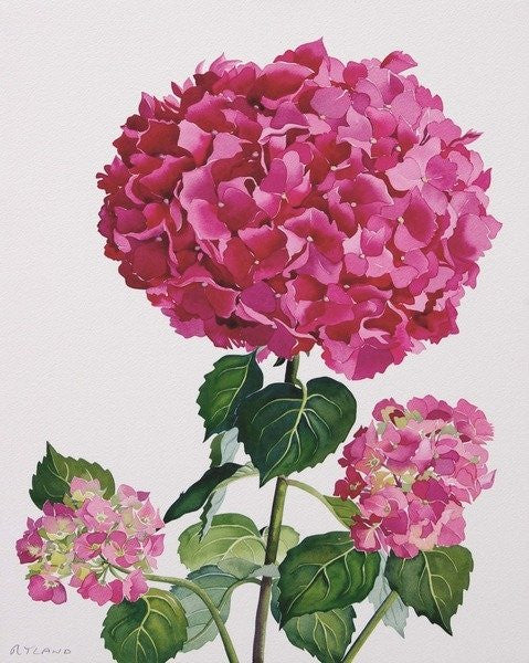 Detail of Hydrangea by Christopher Ryland