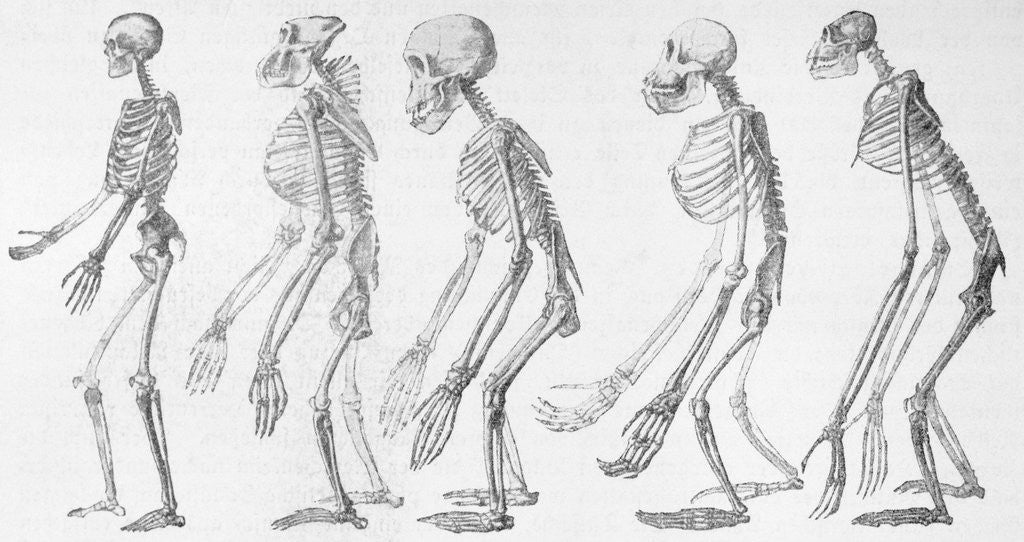 Detail of Chart Showing Human Evolution by Corbis