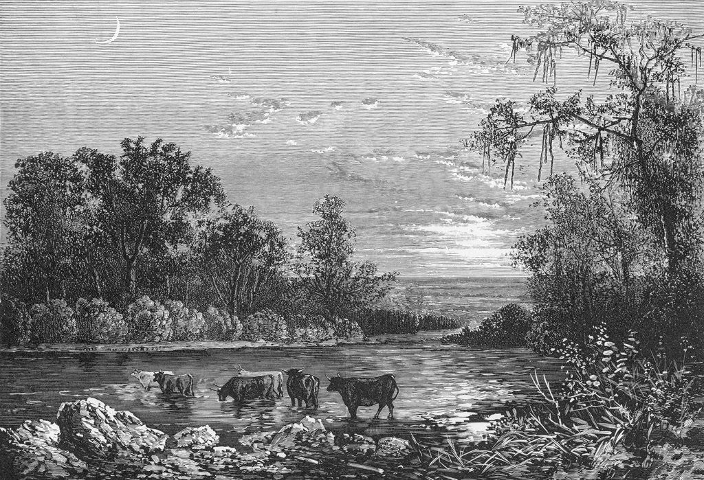 Detail of Cattle in Stream by Corbis