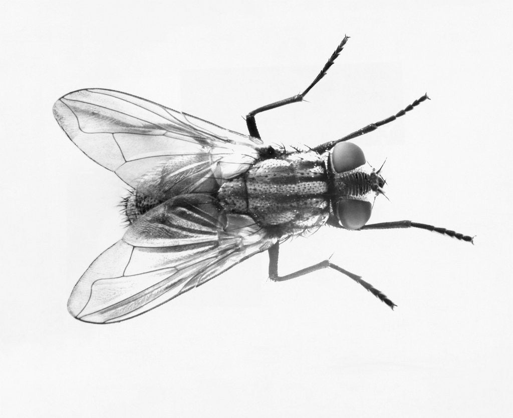 Detail of House Fly by Corbis