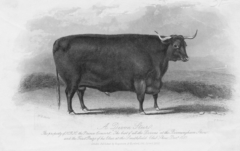Engraving of Prize Winning Devon Steer by Corbis