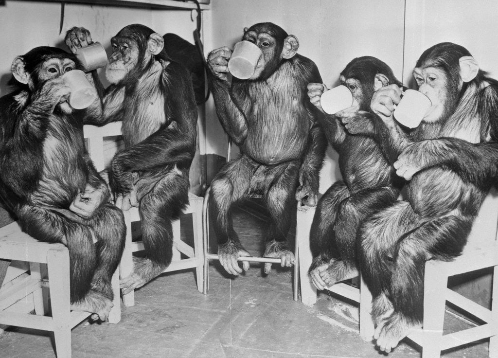 Detail of Chimpanzees Drinking Milk by Corbis