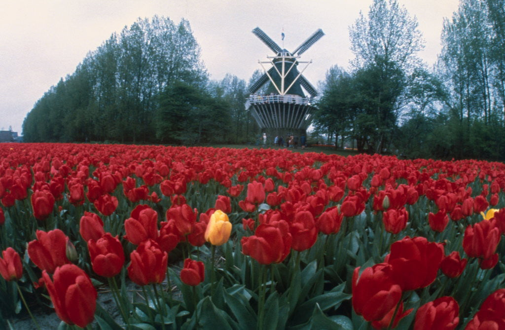 Detail of Field of Tulips with Windmill by Corbis