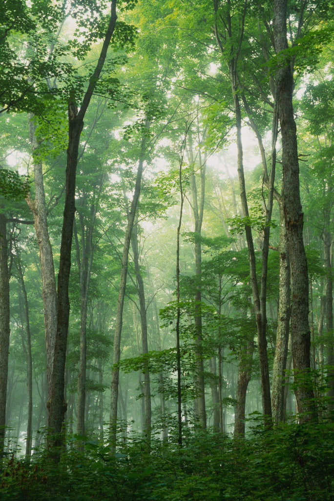 Detail of Fog Rising in Grove of Maple Trees by Corbis