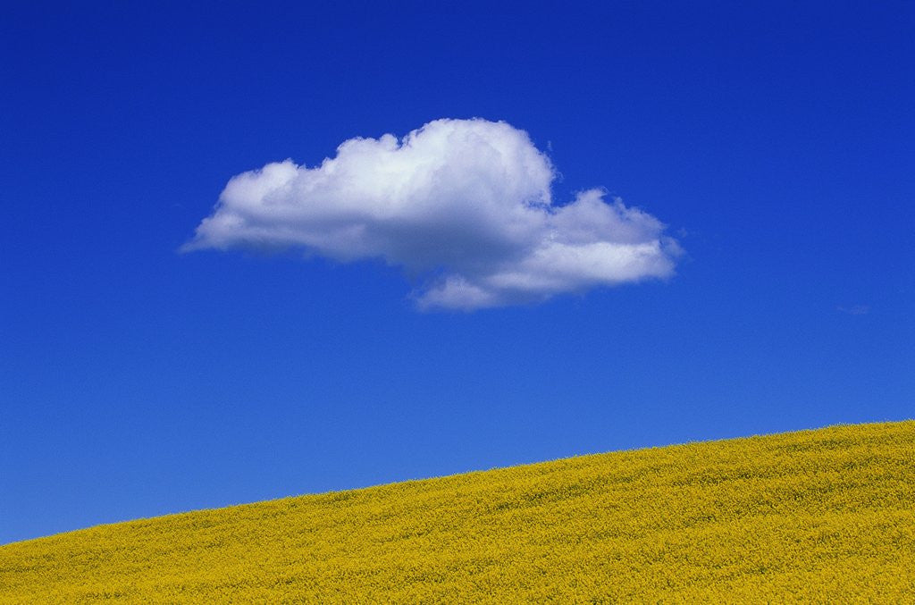 Detail of Cloud over Canola Field by Corbis