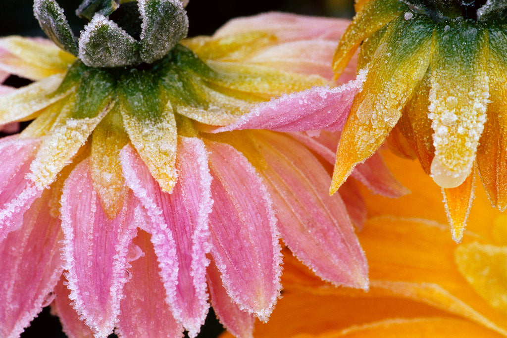 Detail of Frost on Dahlia Petals by Corbis