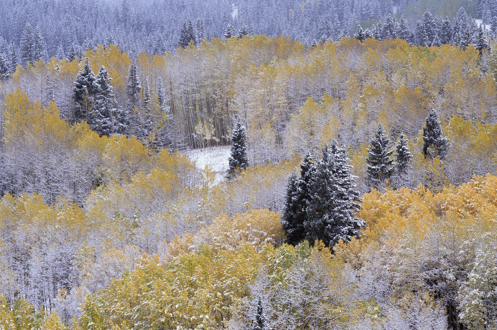 Detail of Aspens and Firs Blanketed with Snow by Corbis