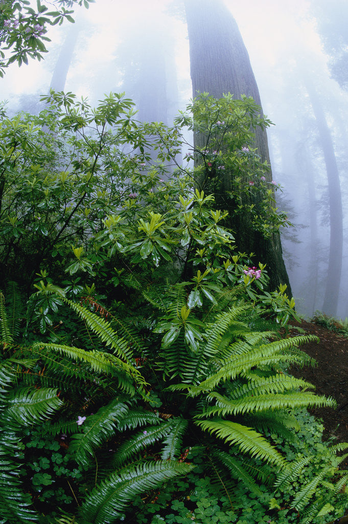 Detail of Ferns and Rhododendrons Among Redwoods by Corbis