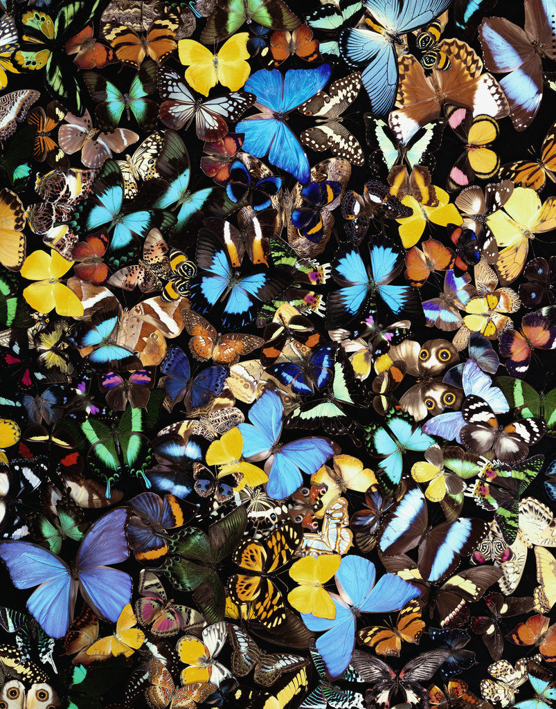 Detail of Butterflies by Corbis