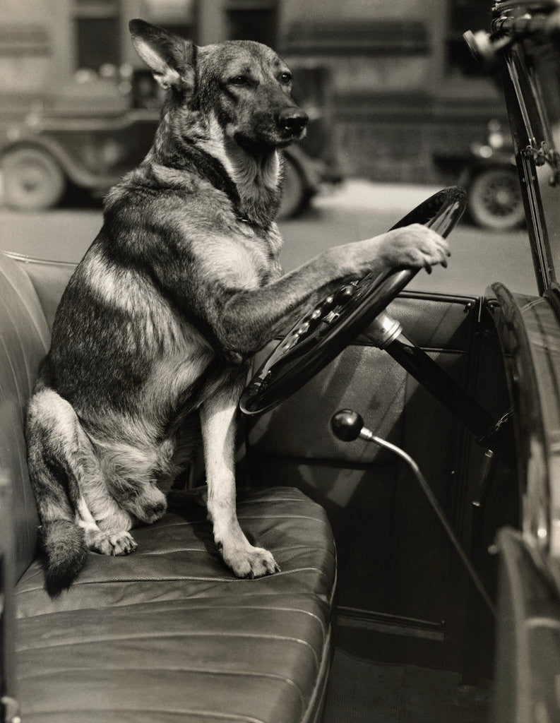 Detail of German Shepherd Driving a Car by Corbis