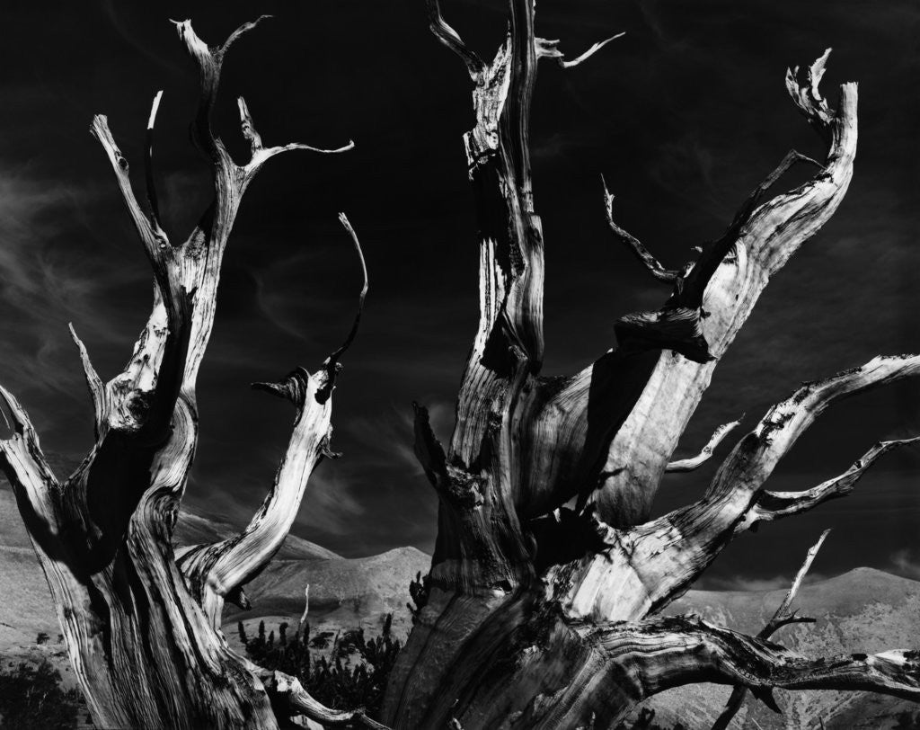 Detail of Dead Tree in the Desert by Corbis