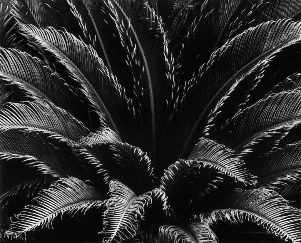 Detail of Crown of a Palm Tree by Corbis