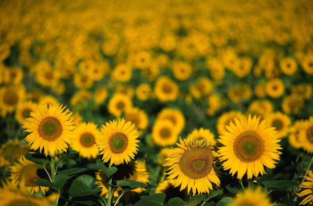Detail of Field of Sunflowers by Corbis