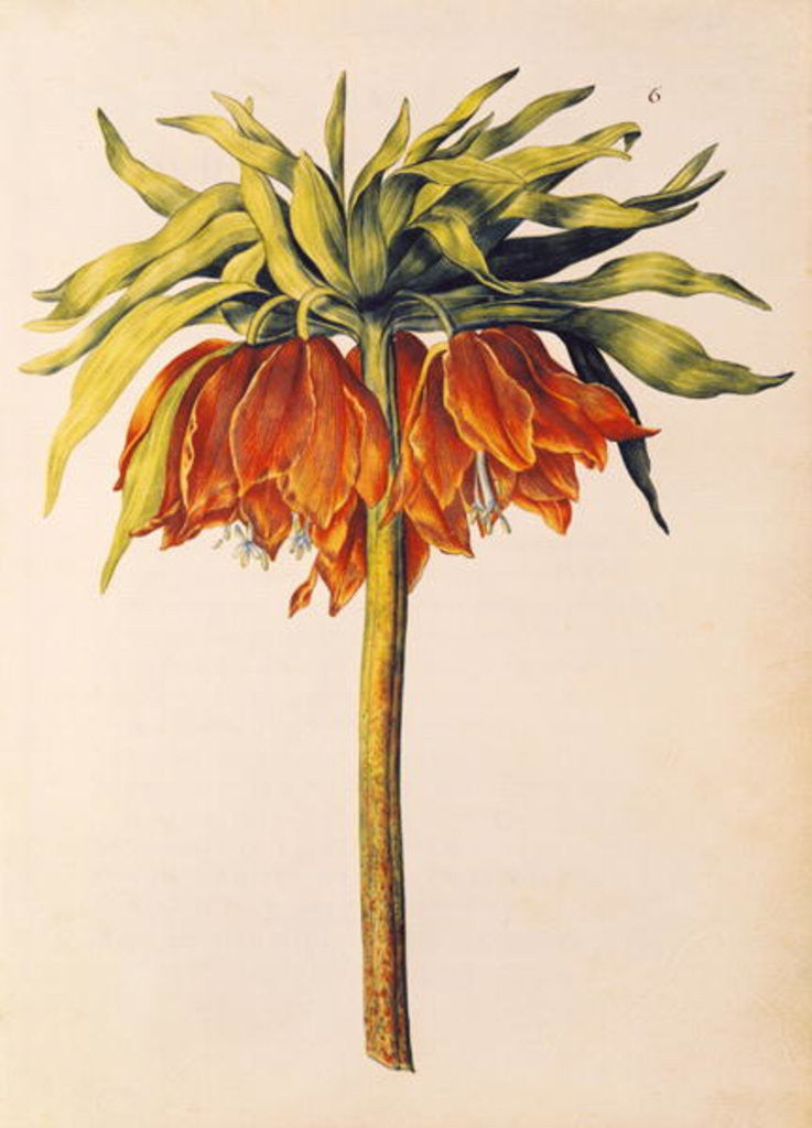 Detail of Crown Imperial Lily or Fritillary by Nicolas Robert