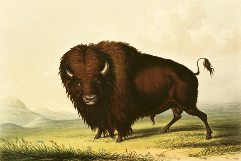 Detail of A Bison by George Catlin