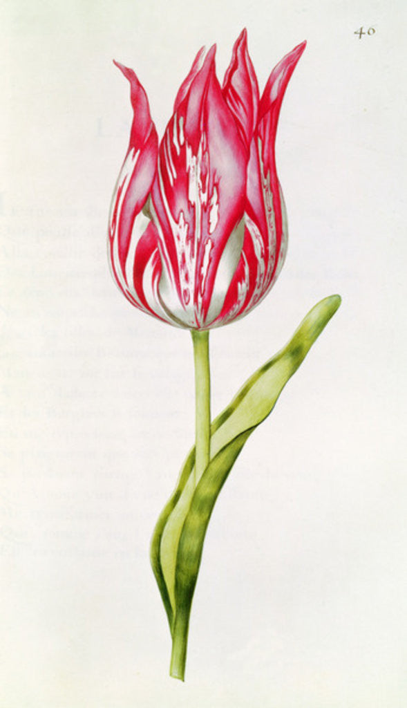 Detail of Tulip by Nicolas Robert