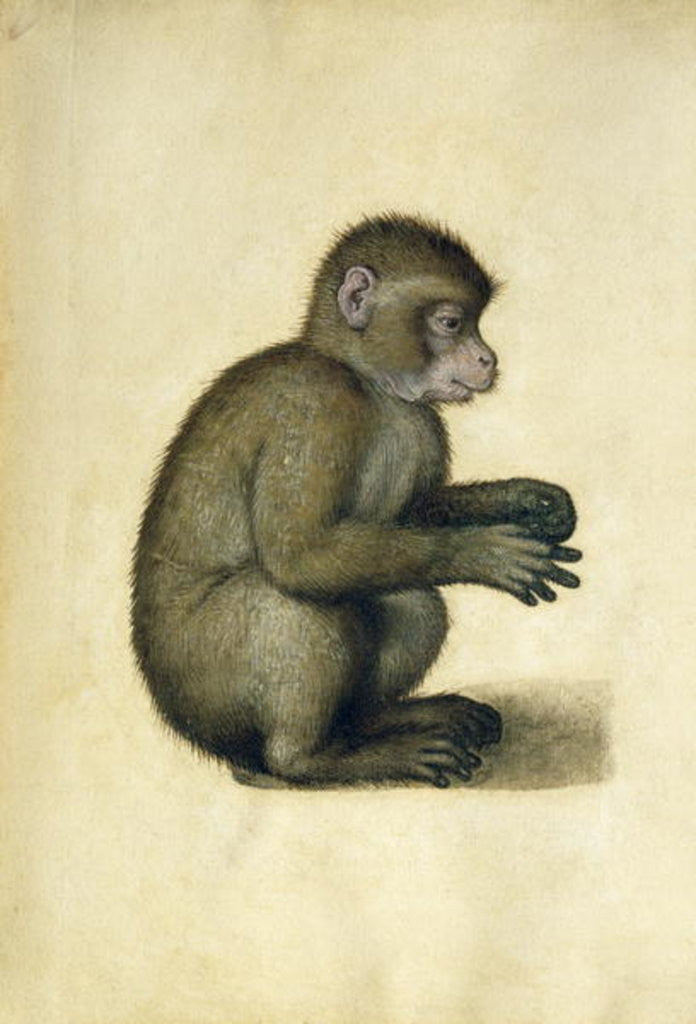 Detail of A Monkey by Albrecht Dürer or Duerer