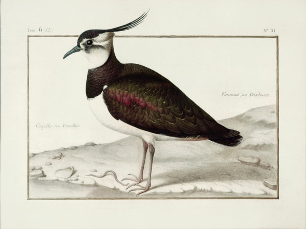 Detail of A Lapwing by Nicolas Robert
