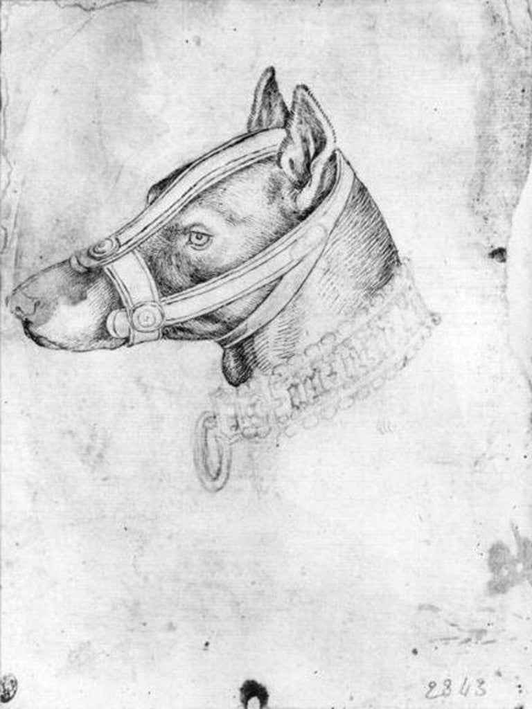 Detail of Head of a muzzled dog by Antonio Pisanello