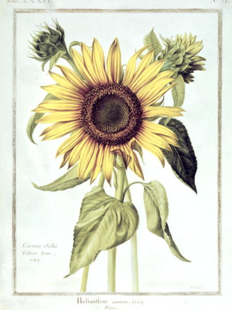 Detail of Helianthus Annuus (Sunflower) no.71 from 'Velins du Roi Vol.36' by Nicolas Robert