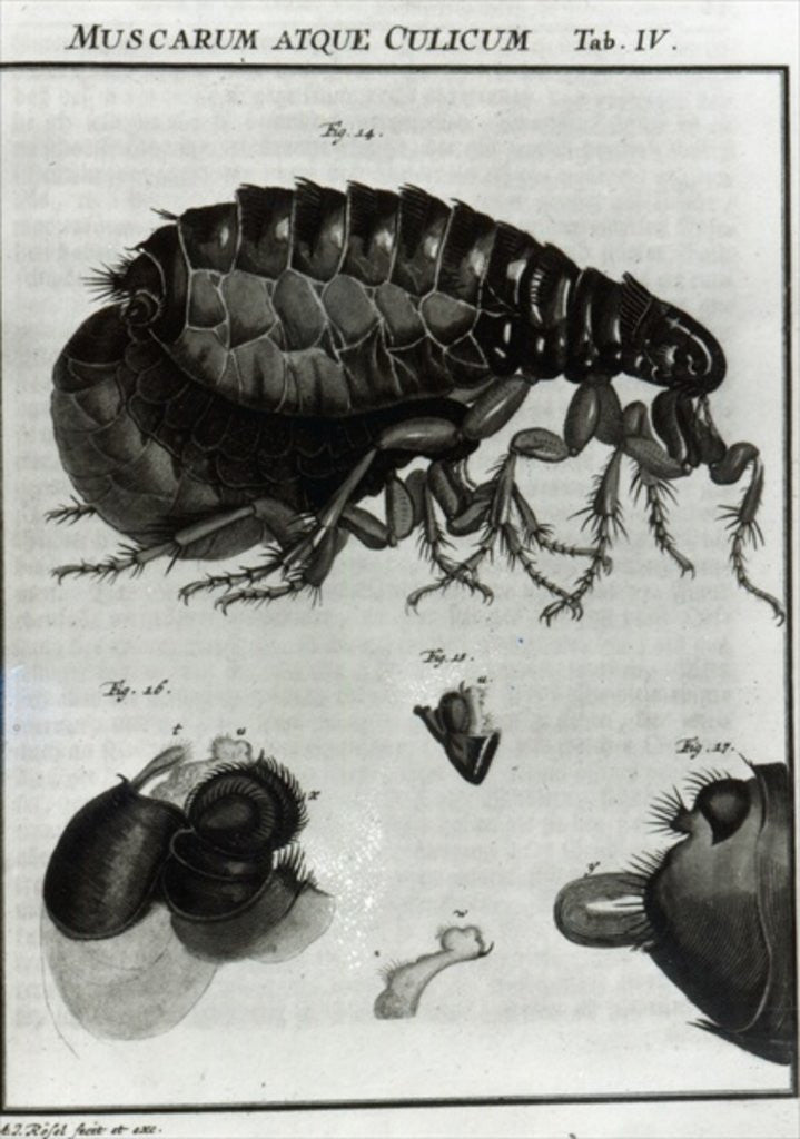Detail of Table IV of Flies and Fleas by Johannes Augustin Rosel von Rosenhof