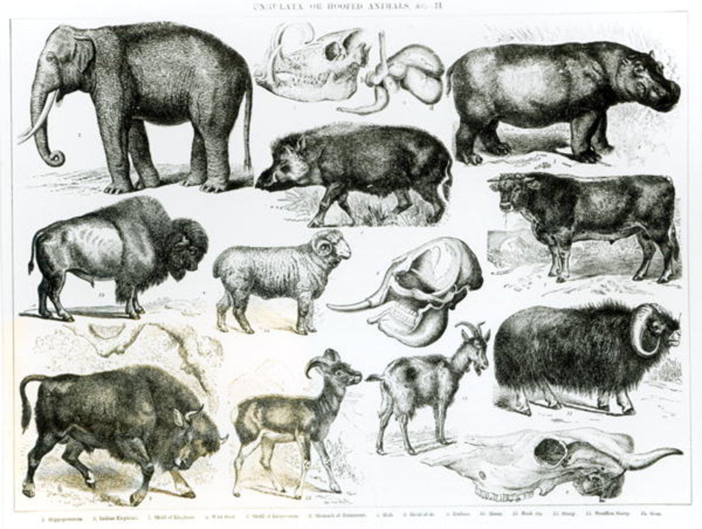 Detail of Ungulata or Hoofed Animals by English School