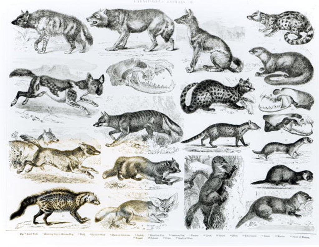 Detail of Carnivorous Animals by English School