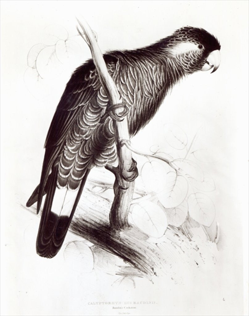 Detail of Calyptorhynchus Baudinii, or Baudin's Cockatoo by Edward Lear