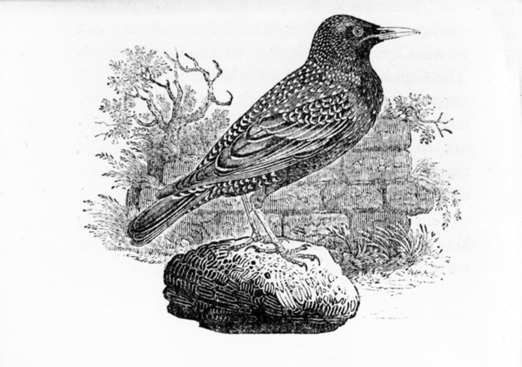 Detail of The Starling by Thomas Bewick