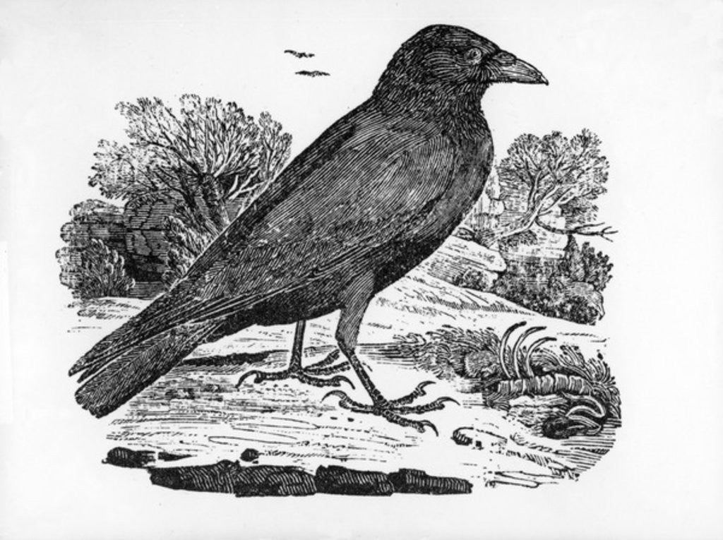 Detail of The Carrion Crow by Thomas Bewick