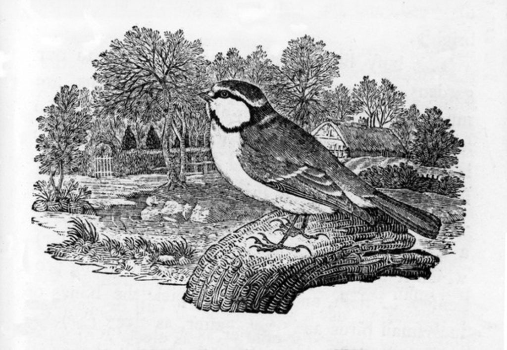 Detail of The Blue Titmouse by Thomas Bewick